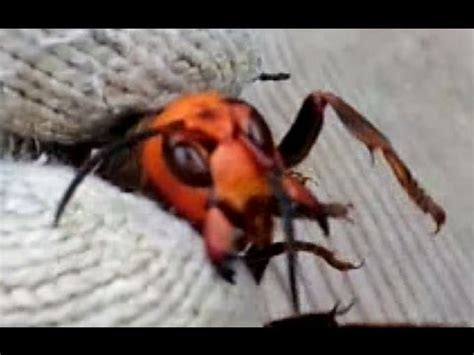 The Japanese Giant Hornet Captured with Hand オオスズメバチを手で