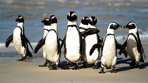 South African Oil Spill Puts Endangered Penguins in Peril